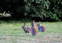 wild-rabbit-378512__180.jpg